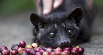 Meet musang, a producer of the most expensive coffee beans!