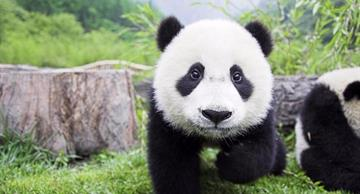 It's impossible to stay indifferent: the best footages with pandas!