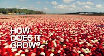 Amazing look at a cranberry harvest: you haven't seen anything like this before!