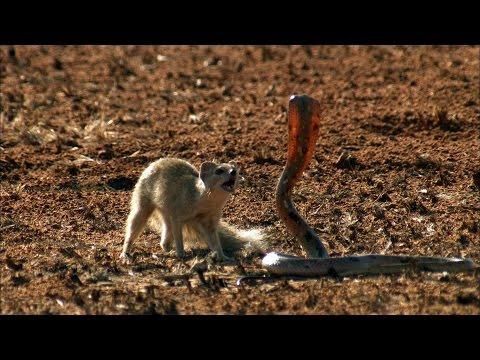 Невероятное видео битвы мангуста и кобры!