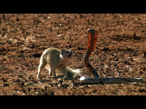 Stunning video of a battle between mongoose and cobra!