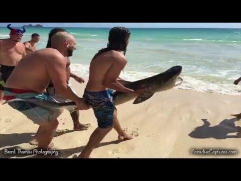 Видео чудесного спасения тигровой акулы на Гаваях!