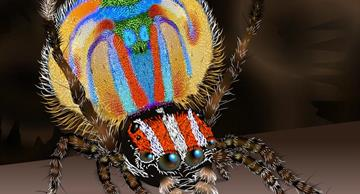 Miniature Peacock spiders, most beautiful arachnids in the world, perform amazing love dance for their females!
