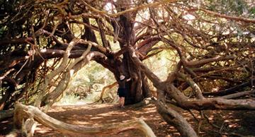 Amazing and mysterious yew trees of the forest of Kingley Vale
