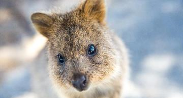 Quokka selfie is the cutest tradition on Instagram!
