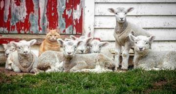 You have never seen this before: lambs and their leader cat!