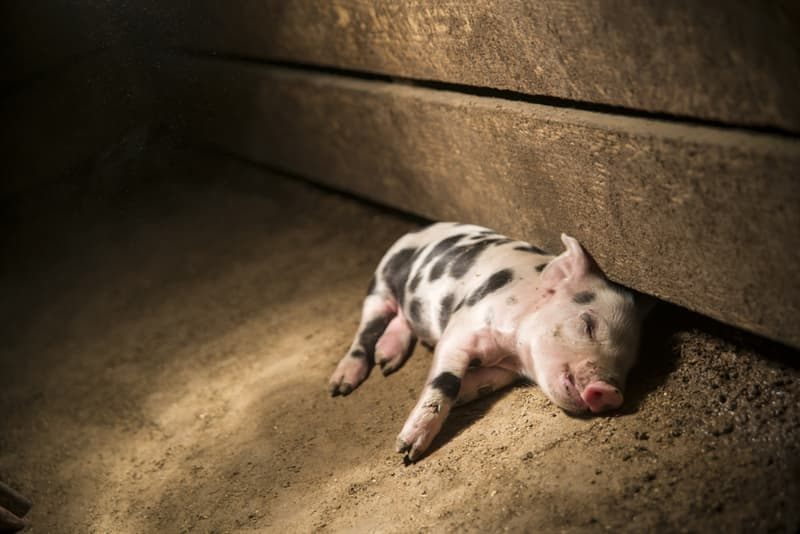 Nature Story: #5 Pigs