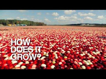 География Story: Впечатляющее зрелище сбора урожая клюквы!