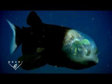 География Story: Самая необычная рыба в мире с прозрачной головой!