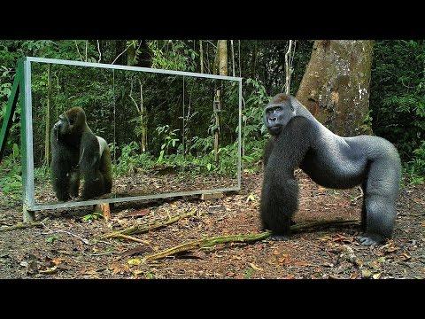 Забавная и неожиданная реакция животных на своё отражение в зеркале!