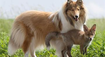This story about a Collie dog adopting a baby fox will touch anybody!