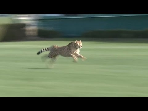 Geography Story: Unbelievable: Californian mite beats a record of cheetah and now is considered the fastest animal on the planet!