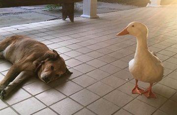 География Story: Друзья навек: как утка спасла собаку от депрессии