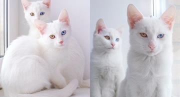 These blond twin cats with heterochromic eyes will melt your heart