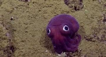 This googly-eyed cuttlefish is just adorable: it looks like a plush toy!