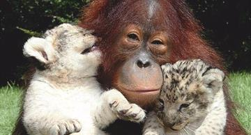 This orangutan became a careful father to the tiger cubs!