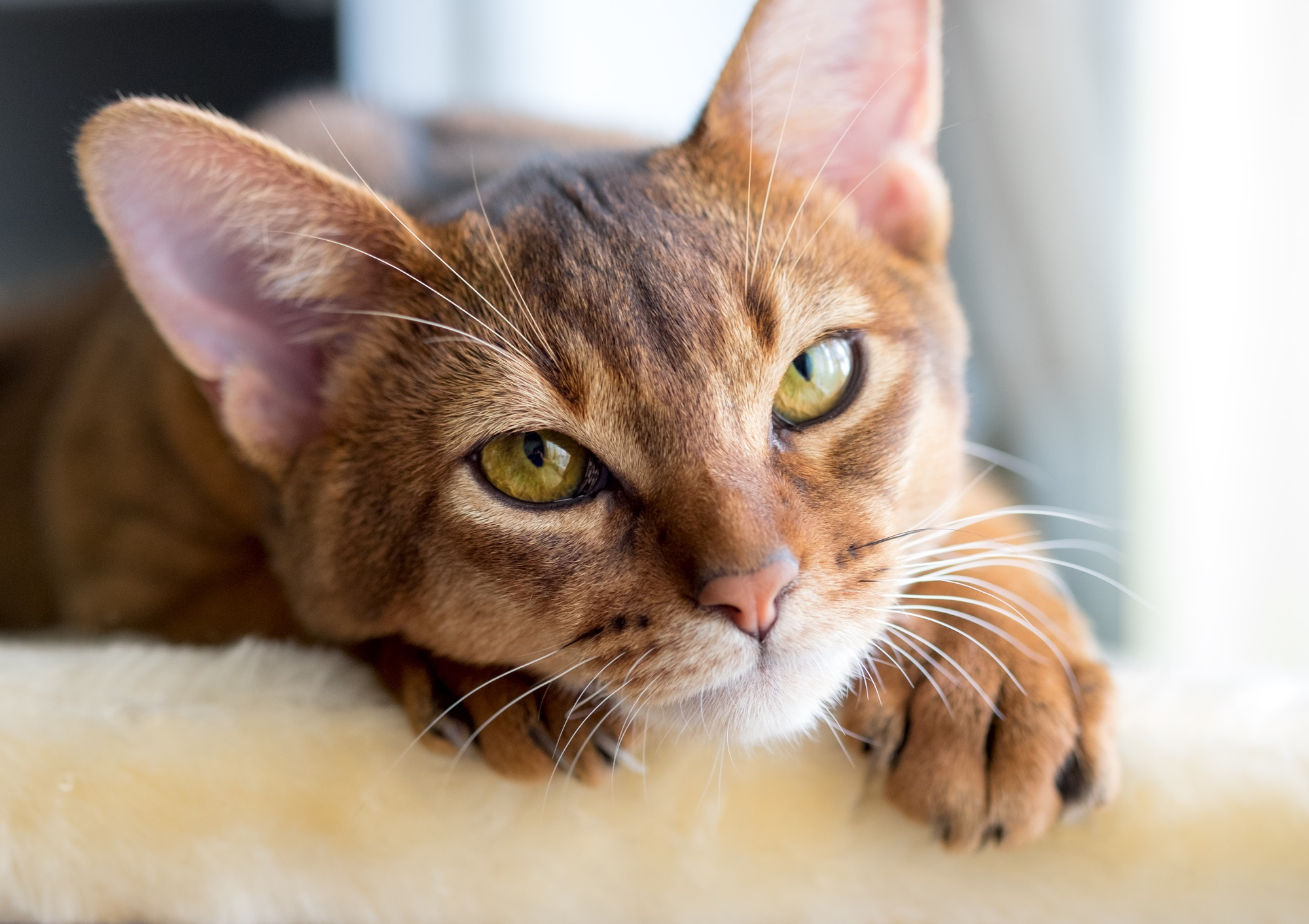 Popular Cat Breeds In India