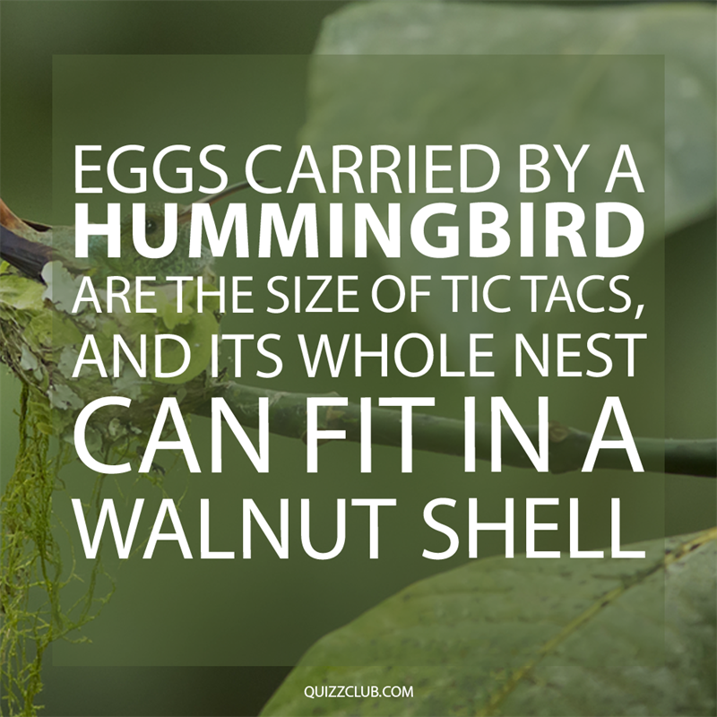 Society Story: Eggs carried by a hummingbird are the size of Tic Tacs, and its whole nest can fit in a walnut shell.