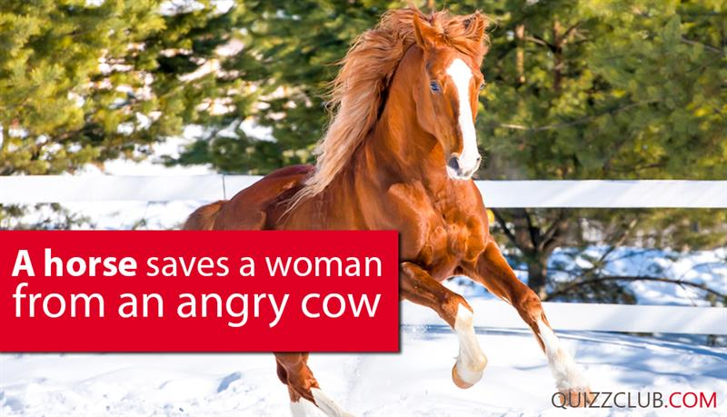 Society Story: A horse saves a woman from an angry cow