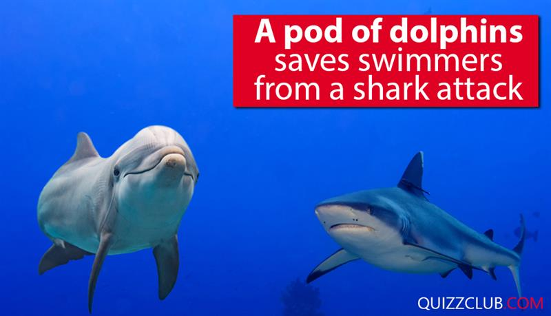 Society Story: A pod of dolphins saves swimmers from a shark attack