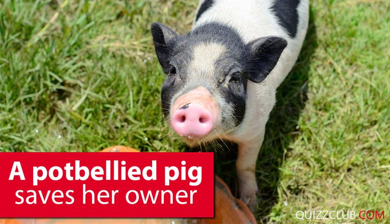 Society Story: A potbellied pig saves her owner