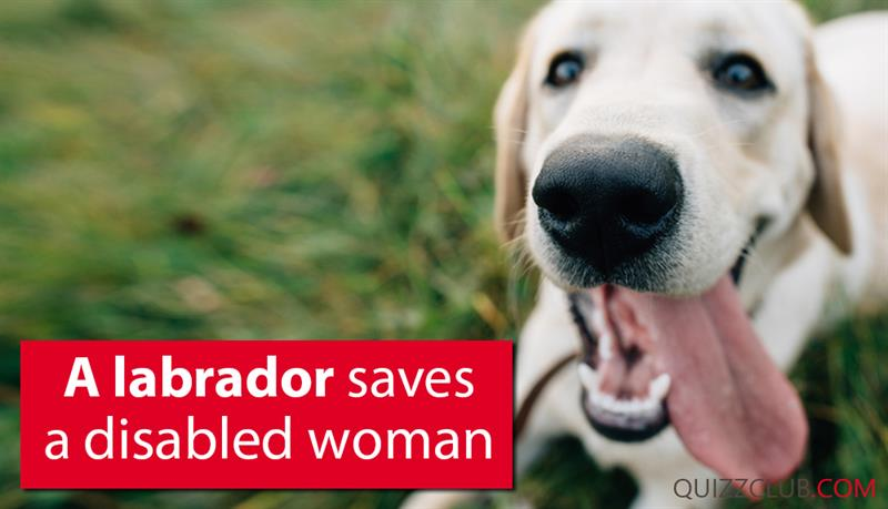 Society Story: A Labrador saves a disabled woman