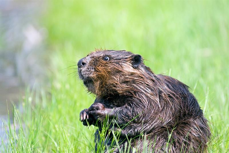 Story: #1 Beaver teeth never stop growing, so beavers constantly have to gnaw trees to control their length