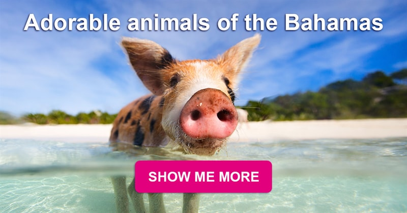 animals Story: Pig Beach - the island of the cutest pigs in the Caribbean Sea