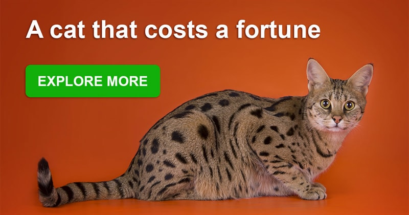 Story: The most expensive and gorgeous cat breeds