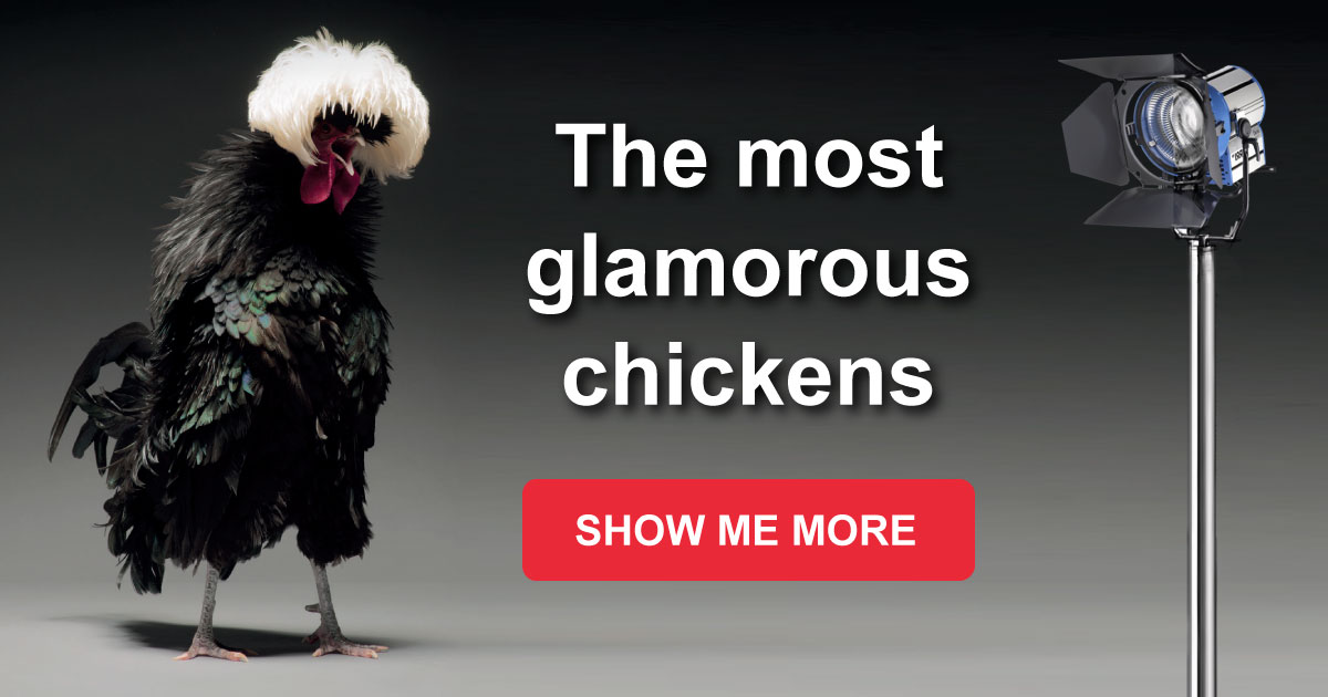 The Most Gorgeous Chickens You Ve Hardly Seen Quiz Club