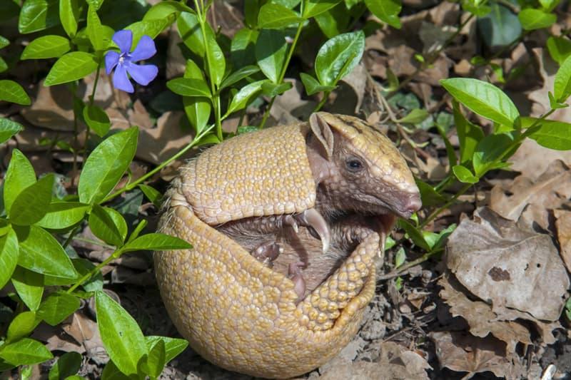 animals Story: Newborn armadillo