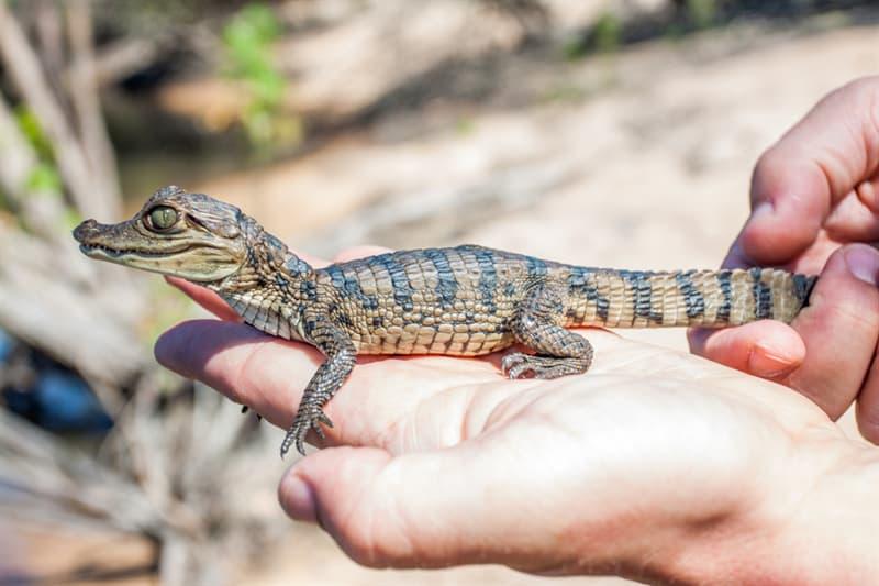 animals Story: Newborn crocodile