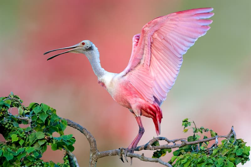 animals Story: Roseate Spoonbill