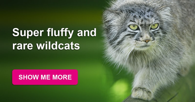 animals Story: Pallas's cats: super fluffy and cute wildcats are within an inch of extinction