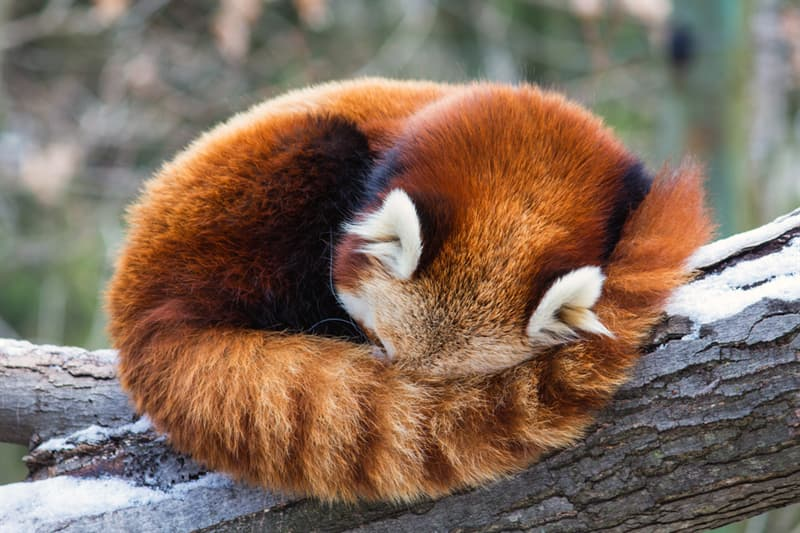 Geography Story: #6 Red pandas