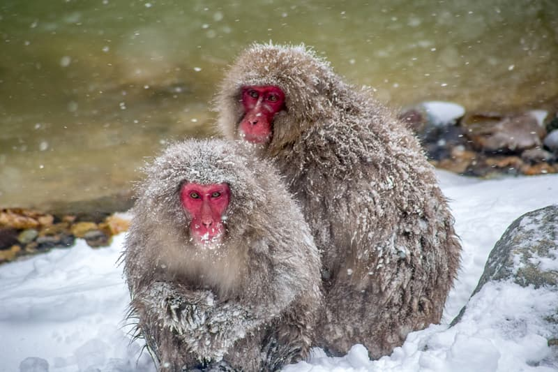 Geography Story: #7 Japanese Macaques