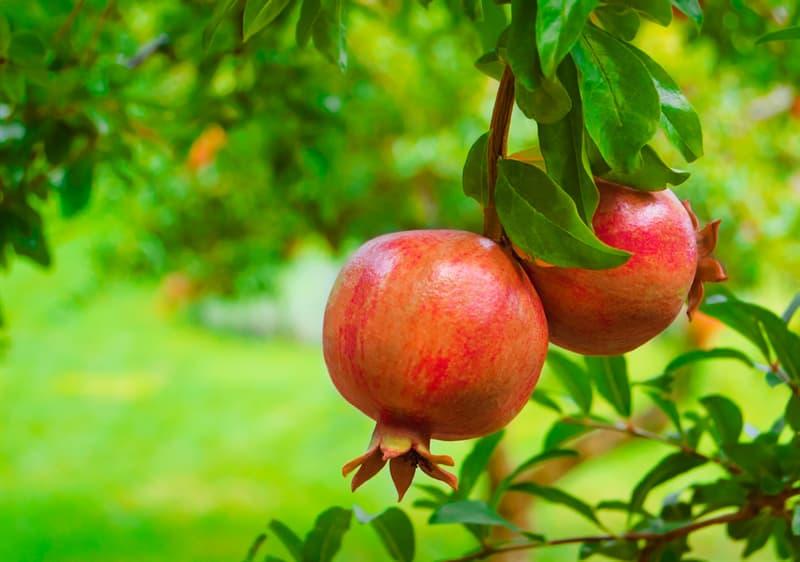 Naturaleza Historia: ¿Hay árboles que den distintos frutos?
