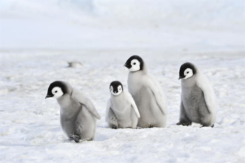 Geography Story: #11 Emperor penguin chicks