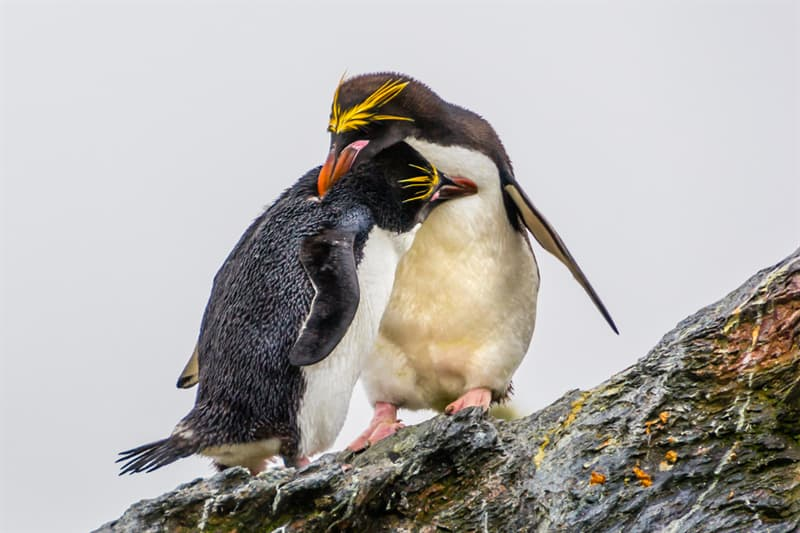Geography Story: #13 Macaroni Penguins