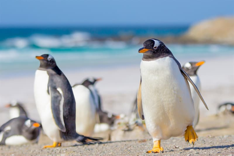 Geography Story: #6 Gentoo Penguins