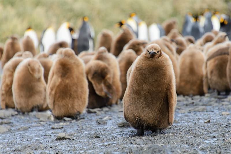 Geography Story: #7 King Penguin Chicks