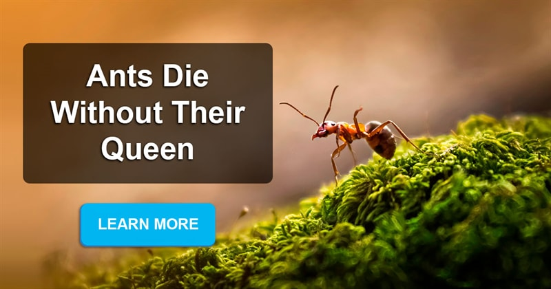 Nature Story: Why do ants die after the queen dies?