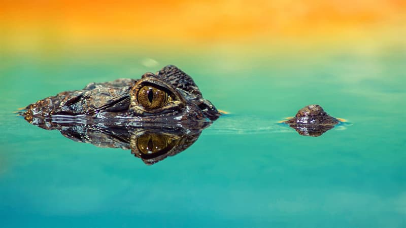 Geography Story: #4 While waiting for the prey, the crocodile can hold its breath underwater for 2 hours