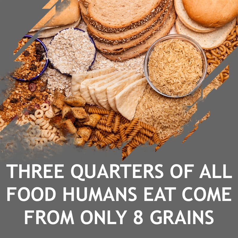 Science Story: Three quarters of all food humans eat come from only 8 grains