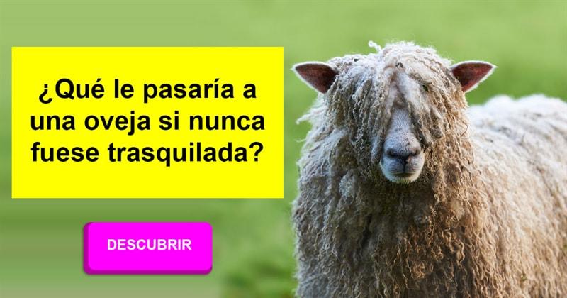 Animales Historia: ¿Qué le pasaría a una oveja si nunca fuese trasquilada?