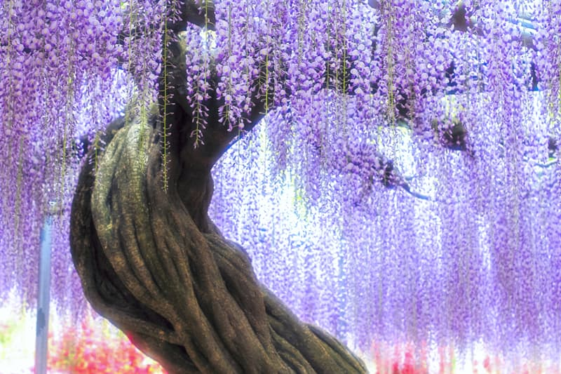 Geography Story: #10 Wisteria trees, China
