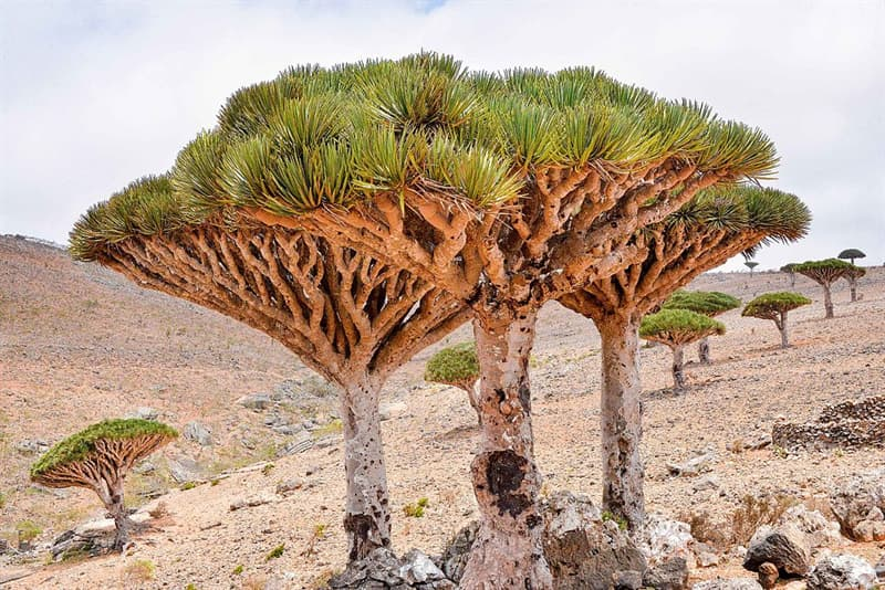 Geography Story: #3 Dragon's blood trees, Yemen