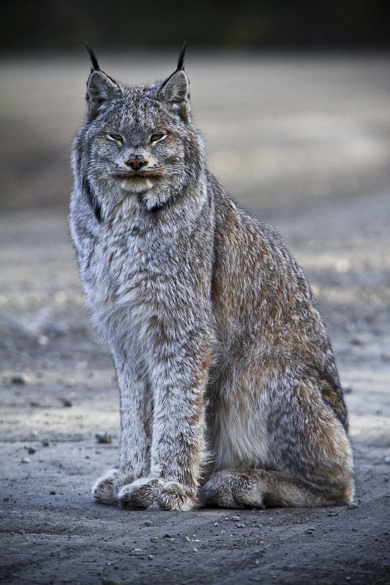 Nature Story: #1 Canada lynx