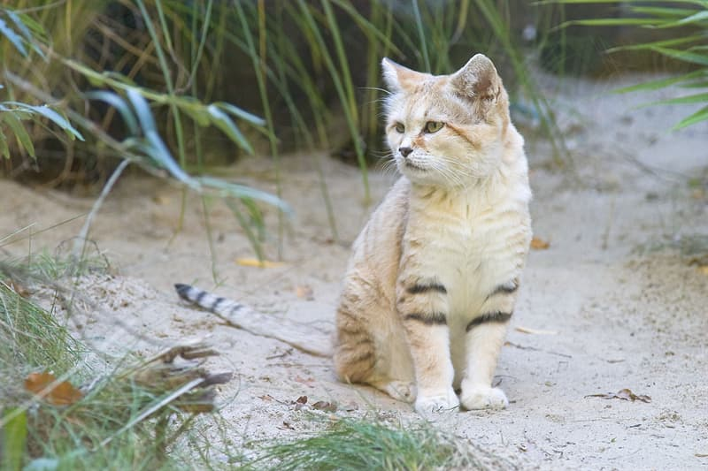 Nature Story: #4 Sand cat