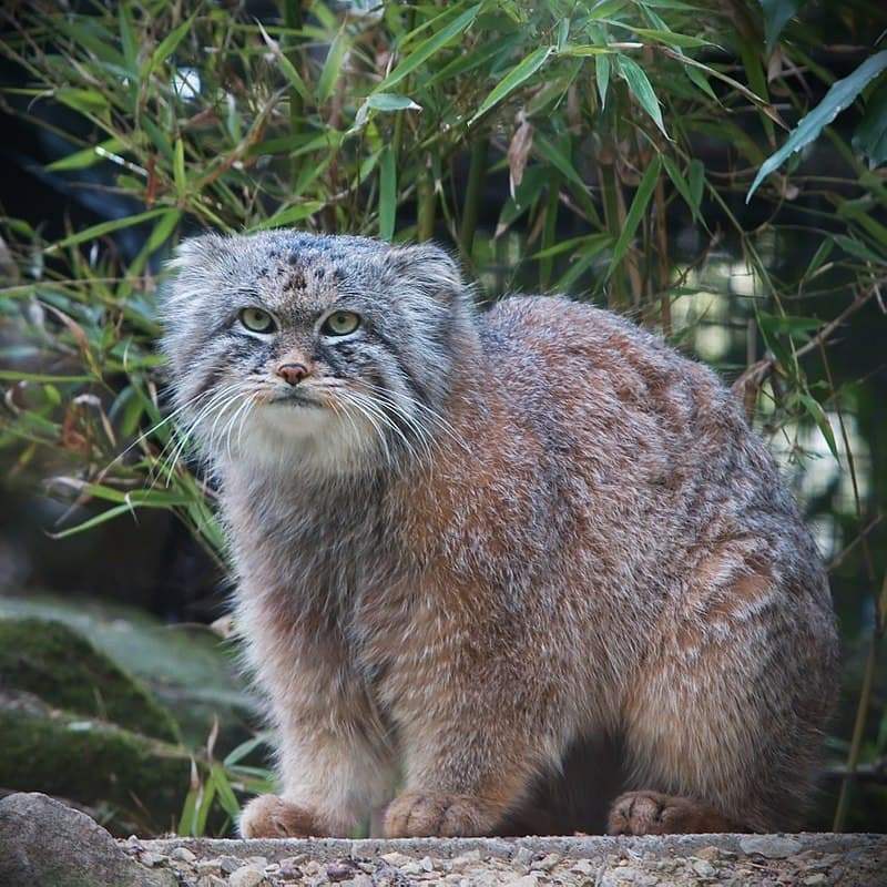Nature Story: #5 Pallas's cat